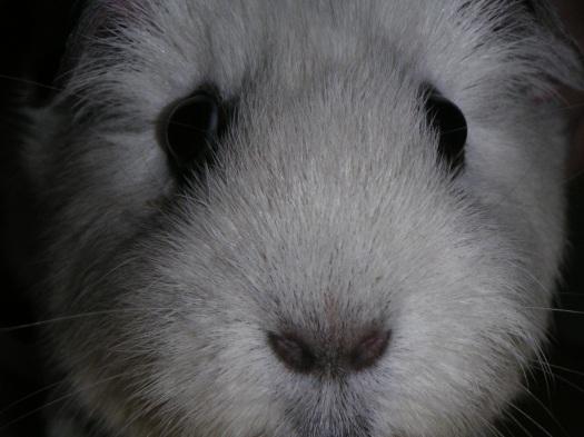 Opie the Guinea Pig