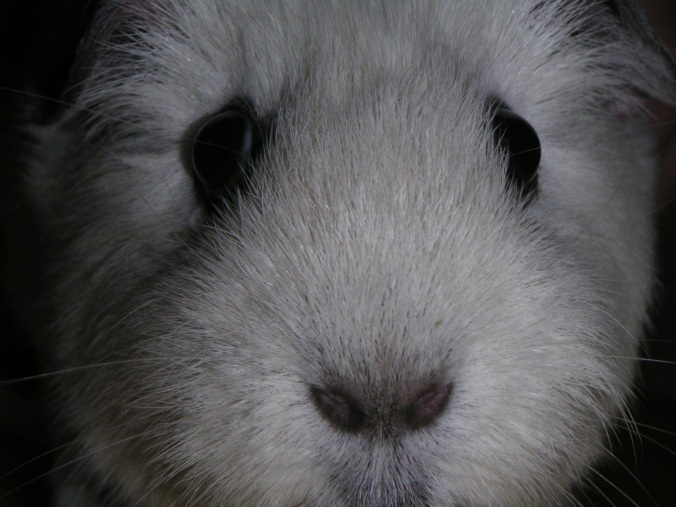 Opie the Guinea Pig