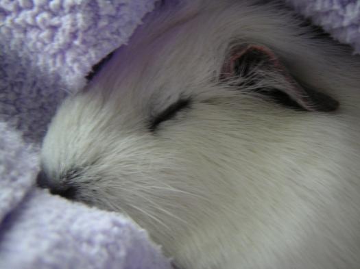 A sleeping guinea pig . . . .