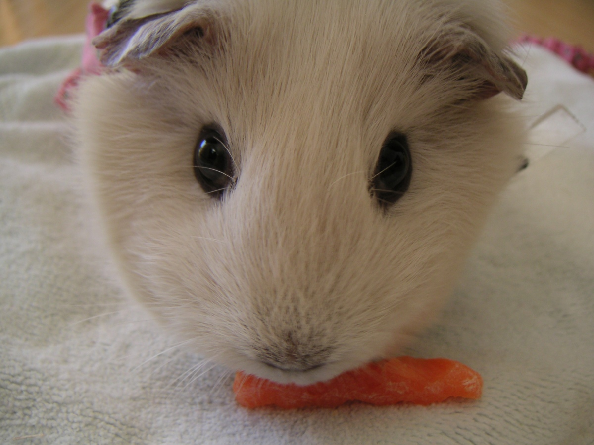 Guinea Pig with treat