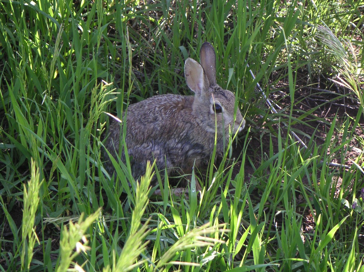 A Bobcat Ridge Natural Area cottontail