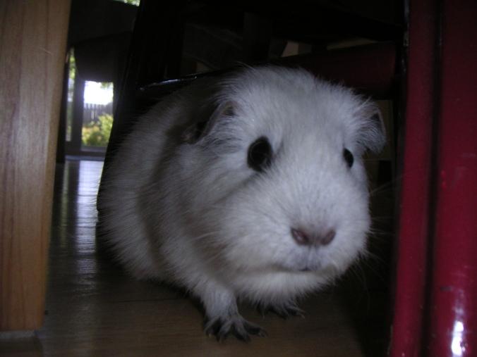 Opie the Grumpy Pig