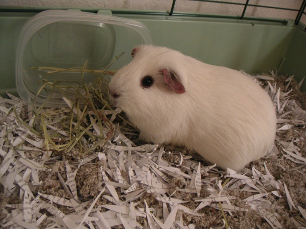 """Opie, the """"green"""" guinea pig"""