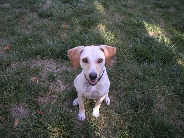 Macaroni, the bed bug beagle