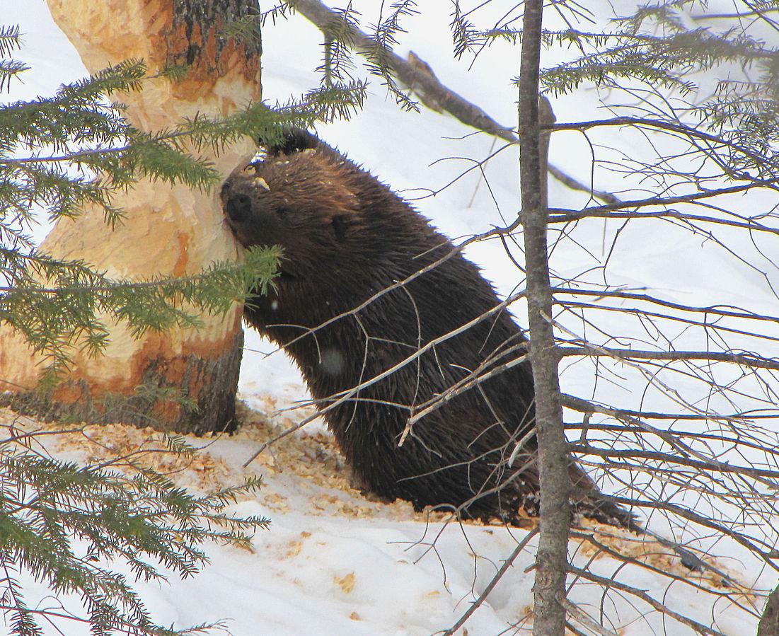 American_Beaver,_tree_cutting