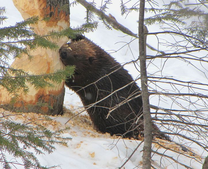 American_Beaver,_tree_cutting